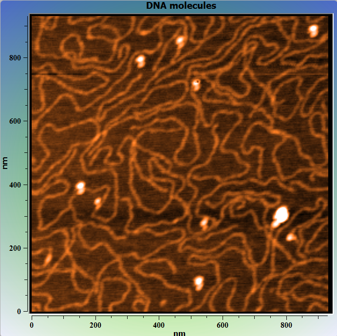 DNA molecules on mica. AFM image. Topography.